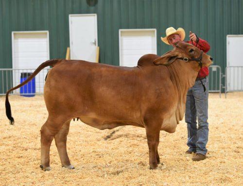 2021 Tennessee State Fair  Intermediate Champion Red Female